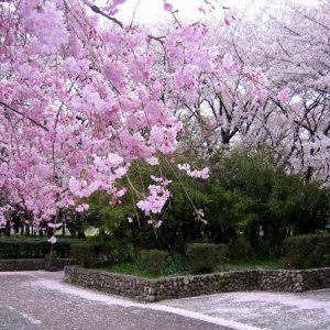 「幽玄の美 桜吹雪」