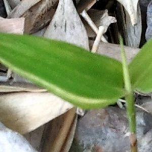 「二ツ葉の新芽」