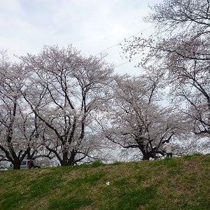 「桜花爛漫」