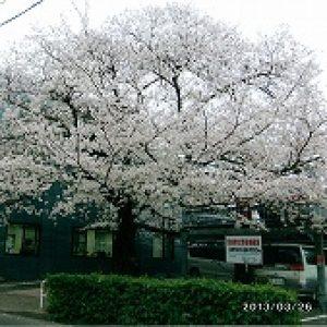 「樹齢80年の桜花」