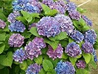 2013-06-19 紫陽花(3)s-