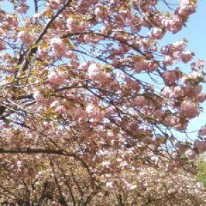 「人を見て 喜び咲かす 八重桜」