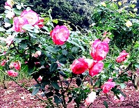 ピンクバラs-