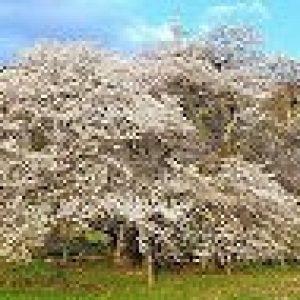 「八重の桜」