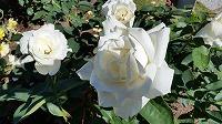 白バラs-